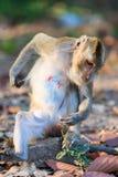 Πίθηκος (καβούρι-που τρώει macaque) που χαλαρώνει στην πέτρα Στοκ εικόνα με δικαίωμα ελεύθερης χρήσης