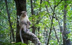 Πίθηκος (καβούρι-που τρώει macaque) στο δέντρο Στοκ φωτογραφίες με δικαίωμα ελεύθερης χρήσης