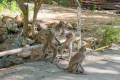 Πίθηκος, καβούρι-που τρώει macaque Στοκ Εικόνες