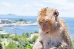 Πίθηκος κινηματογραφήσεων σε πρώτο πλάνο που τρώει το λαχανικό στοκ φωτογραφίες με δικαίωμα ελεύθερης χρήσης