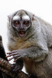 Πίθηκος κουκουβαγιών Στοκ Εικόνες