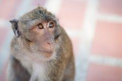 πίθηκος λυπημένος Στοκ Φωτογραφίες