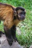 πίθηκος λυπημένος στοκ εικόνες