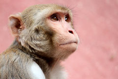 πίθηκος λυπημένος Στοκ φωτογραφίες με δικαίωμα ελεύθερης χρήσης
