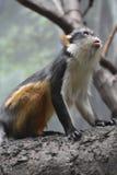 Πίθηκος λύκων ` s Guienon που ανατρέχει σε ένα δέντρο Στοκ Εικόνες