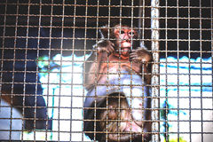Πίθηκος μέσα σε ένα κλουβί Στοκ εικόνες με δικαίωμα ελεύθερης χρήσης