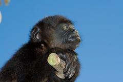 πίθηκος μαργαριταριού μω&r Στοκ Εικόνες