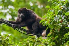 Πίθηκος μαργαριταριού που κατουρεί σε ένα καλώδιο στο εθνικό πάρκο Cahuita, πλευρά Ri στοκ εικόνες