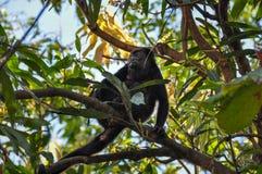 Πίθηκος μαργαριταριού στη Samara, Κόστα Ρίκα στοκ εικόνες με δικαίωμα ελεύθερης χρήσης