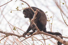 Πίθηκος μαργαριταριού Στοκ φωτογραφία με δικαίωμα ελεύθερης χρήσης