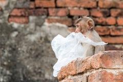 Πίθηκος (με μακριά ουρά macaque, καβούρι-που τρώει macaque) Στοκ φωτογραφία με δικαίωμα ελεύθερης χρήσης