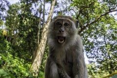 Πίθηκος με τα άσπρα δόντια στη ζούγκλα στοκ φωτογραφίες
