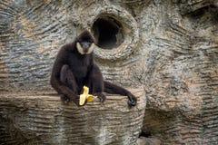 Πίθηκος με τα πολύ μακριά χέρια που κάθονται στο βράχο και την κατανάλωση φρέσκους Στοκ Φωτογραφίες
