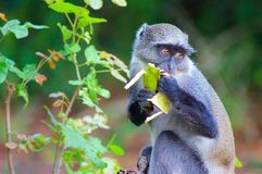 Πίθηκος με την μπανάνα στα ξύλα ένα έντρομο βλέμμα Στοκ εικόνες με δικαίωμα ελεύθερης χρήσης