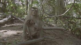 Πίθηκος με τη συνεδρίαση μωρών και στο έδαφος και κατανάλωση των καρυδιών Hill πιθήκων σε Phuket, Ταϊλάνδη απόθεμα βίντεο