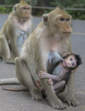 Πίθηκος με τις νεολαίες στοκ φωτογραφίες με δικαίωμα ελεύθερης χρήσης