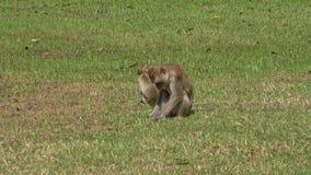 Πίθηκος με cub στη χλόη, ηλιόλουστη ημέρα Ταϊλάνδη απόθεμα βίντεο