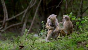 Πίθηκος μητέρων macaque που αγκαλιάζει το μωρό της απόθεμα βίντεο