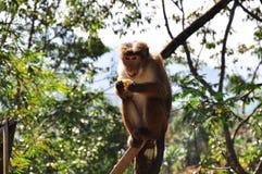 πίθηκος μπανανών Στοκ Εικόνες