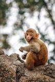 Πίθηκος μωρών στο ναό Swayambunath, Κατμαντού, Νεπάλ Στοκ Εικόνες
