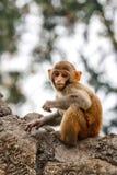 Πίθηκος μωρών στο ναό Swayambunath, Κατμαντού, Νεπάλ Στοκ εικόνες με δικαίωμα ελεύθερης χρήσης
