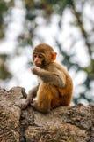 Πίθηκος μωρών στο ναό Swayambunath, Κατμαντού, Νεπάλ Στοκ Φωτογραφίες