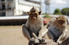 πίθηκος μωρών Στοκ Εικόνες