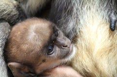 πίθηκος μωρών Στοκ Φωτογραφία