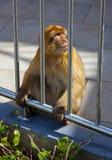 Πίθηκος πίσω από ένα δικτυωτό πλέγμα Στοκ Εικόνες