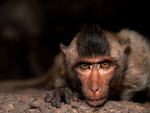πίθηκος παλαιός Στοκ Εικόνες