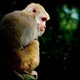 πίθηκος παλαιός Στοκ εικόνα με δικαίωμα ελεύθερης χρήσης