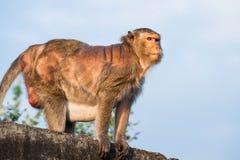 Πίθηκος παλαιός Στοκ Φωτογραφίες