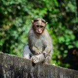 Πίθηκος που λαμβάνεται αστείος στο άδυτο άγριας φύσης Periyar Στοκ Εικόνες