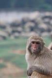 πίθηκος που ανατρέπεται Στοκ Φωτογραφίες