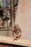 Πίθηκος που απολαμβάνει ένα καρότο στην Ινδία Στοκ εικόνα με δικαίωμα ελεύθερης χρήσης