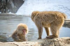 Πίθηκος που εισάγει την καυτή άνοιξη βουνών Στοκ Φωτογραφία