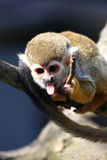 πίθηκος που εμφανίζει γλώσσα Στοκ Εικόνες