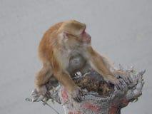 Πίθηκος που θέτει σε έναν κλάδο δέντρων στοκ εικόνες με δικαίωμα ελεύθερης χρήσης