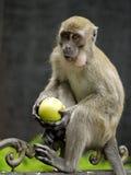 Πίθηκος που κρατά τη Apple Στοκ Εικόνα