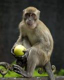 Πίθηκος που κρατά τη Apple Στοκ Φωτογραφία