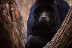 Πίθηκος που κρυφοκοιτάζει μέσω των δέντρων Στοκ Φωτογραφία