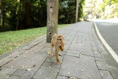 Πίθηκος που περπατά στο δρόμο στην Ινδία Στοκ φωτογραφία με δικαίωμα ελεύθερης χρήσης
