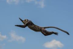 Πίθηκος που πηδά στον αέρα Στοκ εικόνες με δικαίωμα ελεύθερης χρήσης