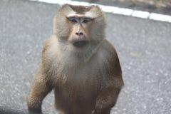 Πίθηκος που στέκεται στο δρόμο που εξετάζει σας Στοκ Εικόνες