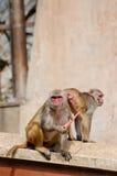 Πίθηκος που τρώει ένα καρότο στην Ινδία Στοκ Φωτογραφίες