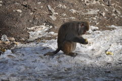 Πίθηκος που τρώει ένα καλαμπόκι Στοκ φωτογραφία με δικαίωμα ελεύθερης χρήσης
