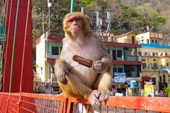 Πίθηκος που τρώει ένα παγωτό στη γέφυρα σε Laxman Jhula στην Ινδία Στοκ Εικόνες