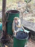 Πίθηκος που τρώει κοντά στο χρυσό ναό, Σρι Λάνκα, Ασία στοκ φωτογραφία