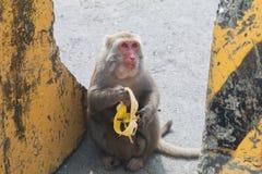 Πίθηκος που τρώει μια μπανάνα στην άκρη του δρόμου Στοκ Φωτογραφίες