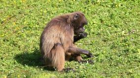 Πίθηκος που τρώει στη χλόη απόθεμα βίντεο